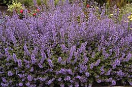 2007 perennial plant of the year garden each year there are a bevy of perennial flowers to tempt us both new and old favorites and it can be difficult to choose what to plant mightylinksfo