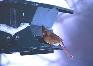 A female cardinal is a daily visitor to this feeder for black oil sunflower seeds