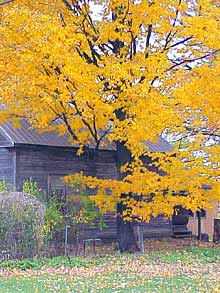 To grow stately shade trees like this maple, check young trees for binding stakes and ties in fall.