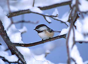 Scouting for a snack, a chickadee perches on a snow-covered branch.