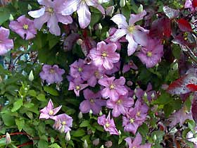 Clematis grow well up a trellis or arbor; pair them with climbing roses for a dramatic display.