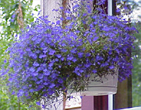 A hanging basket filled with lobelia welcomes visitors.