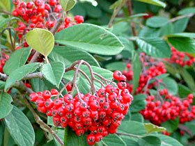 Berry-producing trees and shrubs, such as this cotoneaster, are popular bird hangouts.