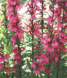 New Color For Late Summer Blooming Lobelia National
