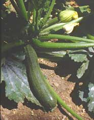 'Black Zucchini' is highly regarded open-pollinated variety