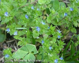 Suddenly In Late Spring A Little Green Weed With Triangular Deeply Scalloped Lower Leaves Ears Bearing Small Blue Flowers