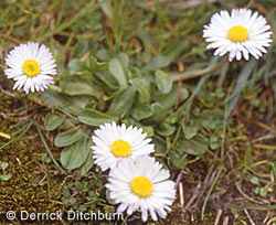 English Daisy Bellis Perennis Is Often Grown As A Colorful Little Perennial That Blooms In Shades Of Pink But Wild Strains Bearing White Flowers With