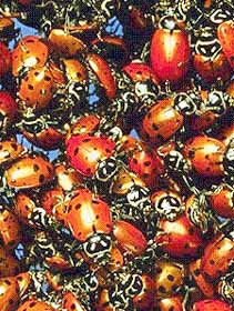 Lady beetles use pheremones to find each other in the fall and form clusters.