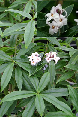 Worlds largest daphne garden daphnes are known for their attractive foliage and sweetly scented white flowers most selections are small shrubs with densely packed leaves that grow mightylinksfo