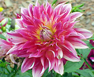 Popular formal-decorative dahlias are 'Jess Lynn', 'Steling Silver', and 'Tonya'.