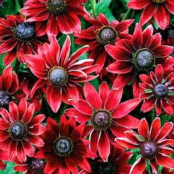 Red flowering rudbeckia garden there are many new selections of this tough easy to grow perennial that feature different flower colors and mightylinksfo