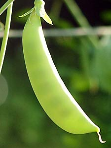 'Sugar Snap' pea