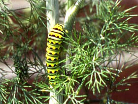 Swallowtail larvae feed on dill, fennel, and parsley.