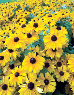New hybrid rudbeckia garden in recent years breeders have developed several new varieties of both annual and perennial rudbeckias with different heights flower mightylinksfo