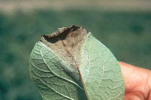 Late blight on tomato leaves
