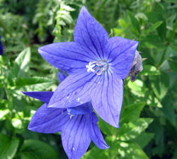 Balloon flower trial garden balloon flowers platycodons grandiflorus are beautiful summer blooming perennials that come in a range of flower colors including pink white and blue mightylinksfo