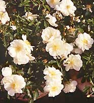 'Flower Carpet White'