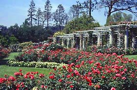 Huntington's renowned rose garden blooms from Easter to Christmas.