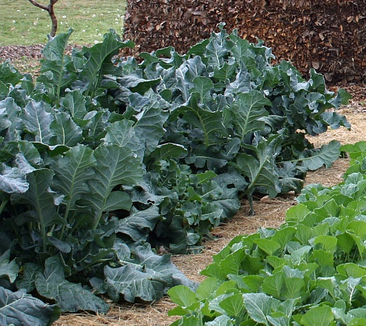 Plant Care: Collards