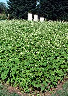 Buckwheat is a fast-growing, warm season cover crop.