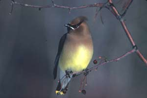 While perched on a dormant crabapple, a ceder waxwing considers its options.