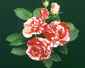 The 1997 All-America Rose Selection 'Scentimental' was created by Tom Carruth.