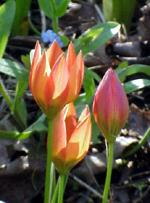 Wild tulips like 'Apricot Jewel' come back year after year.