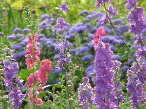 Larkspur and tall varieties of ageratum make lovely cut flowers