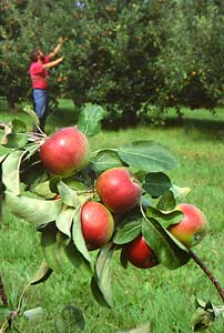 To minimize apple problems, plant disease resistent kinds, such as 'Redfree'.
