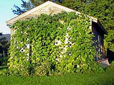 Vine-climbing gourd plants can grow up to 40 feet tall