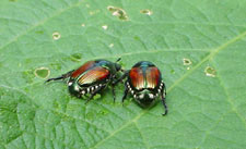 A pair of Japanese beetles consider their next move