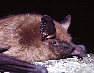 If not exactly cuddly, bats are far more a threat to pests than people.