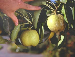 Harvest Asian pears after background color has changed but while fruit is still firm. Ripe fruits break off easily