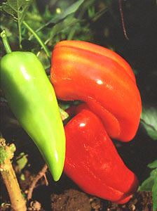 'Corno di Toro', or bull's horn peppers, are excellent for grilling or broiling.