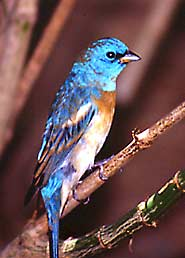 A male lazuli bunting in the aviary.