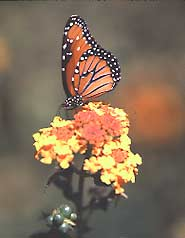 A monarch butterfly visits a lantana flower in the pollination garden.