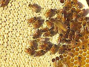 Pie-crust color and few skipped cells are evidence of a healthy honey-filled comb.