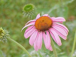 Echinacea's prickly cone sits crownlike surrounded by purple petals.