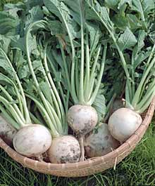 Turnips are an easy to grow, adaptable, and productive home garden crops