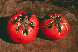 Growth cracks on tomatoes can lead to serious deterioration of the fruit.