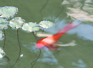 Compared to koi, goldfish are hardier and easier to care for.