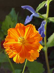 2000 All-American Selection 'Cosmic Orange' Cosmos