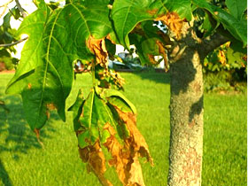 Dealing with Anthracnose Disease on Trees