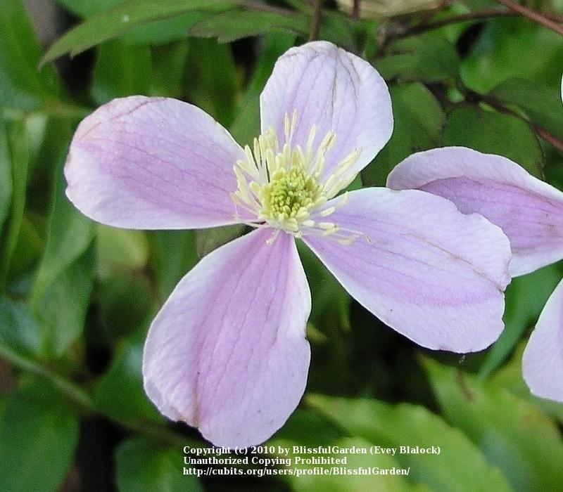 Photo of Clematis (Clematis montana 'Pink Perfection') uploaded by BlissfulGarden