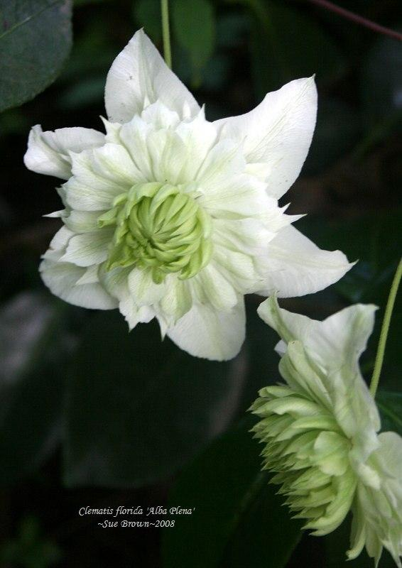 Photo of Clematis (Clematis florida 'Alba Plena') uploaded by Calif_Sue