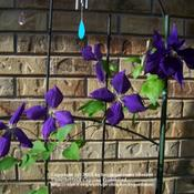 The clematis blooms in this photo look like little pinw
