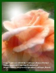 Thumb of 2010-02-16/Cottage_Rose/efd26b