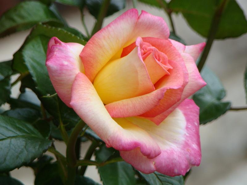 Photo of Rose (Rosa 'Sheila's Perfume') uploaded by Val