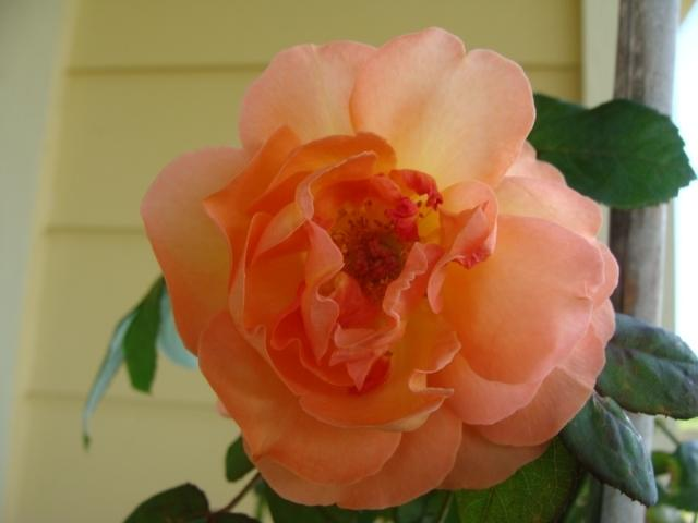 Photo of Rose (Rosa 'Lady Emma Hamilton') uploaded by emoryterri