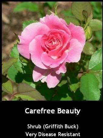 Photo of Rose (Rosa 'Carefree Beauty') uploaded by Mike